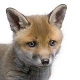 Nahaufnahme des Kopfes eines des roten Fuchses Jungen Stockbild