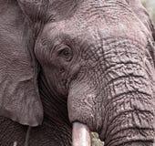 Nahaufnahme des Kopfes eines Elefanten Lizenzfreies Stockbild