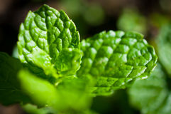 Nahaufnahme des Krauts, grünes Blatt im Garten/im Makro des grünen Blattes im Wald Lizenzfreie Stockbilder