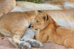 Nahaufnahme des Löwejungen (Panthera Löwe) Lizenzfreie Stockfotos