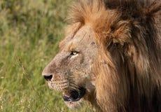 Nahaufnahme des Löwes (Panthera Löwe) Stockfotografie
