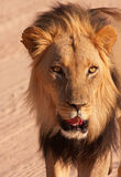 Nahaufnahme des Löwes (Panthera Löwe) Stockfotos