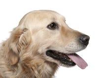 Nahaufnahme des Labrador-Apportierhunds, 4 Jahre alt lizenzfreie stockbilder