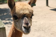 Nahaufnahme des Lamas auf einem Bauernhof Lizenzfreies Stockbild