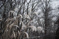 Nahaufnahme des langen Grases gegen den Winterhimmel stockfoto