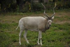 Nahaufnahme des männlichen Impala Stockfotografie