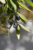 Nahaufnahme des Mittelmeerolivenbaums Stockfotos