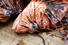 Nahaufnahme des Musters von Skorpionsfische Pteroisvolitans, -skalen und -spitzen auf Kopf Stockfotos