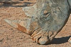 Nahaufnahme des Nashorns Lizenzfreies Stockfoto