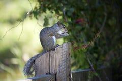 Nahaufnahme des netten grauen Eichhörnchens, das Erdnüsse isst Lizenzfreie Stockfotos