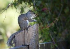 Nahaufnahme des netten grauen Eichhörnchens, das Erdnüsse isst Stockfotografie