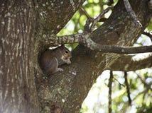 Nahaufnahme des netten grauen Eichhörnchens, das Erdnuss, sitzend auf einem Baumast isst Lizenzfreie Stockfotografie