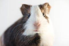 Nahaufnahme des netten Meerschweinchens der Nase Lizenzfreie Stockfotos