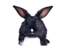 Nahaufnahme des netten schwarzen Kaninchens Stockbilder