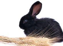 Nahaufnahme des netten schwarzen Kaninchens Lizenzfreie Stockfotos
