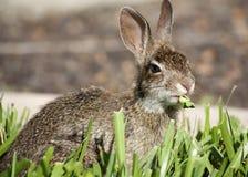 Nahaufnahme des netten Waldkaninchenhäschens, das Gras isst Stockfotografie