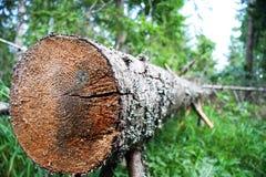 Nahaufnahme des niedergeworfenen Baums Stockfotografie