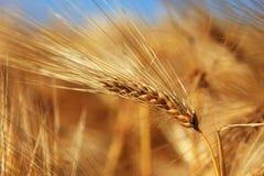 Nahaufnahme des Ohrs des Weizens Stockfotos