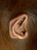Nahaufnahme des Ohrs jungen Bornean-Orang-Utans, Pongo pygmaeus Lizenzfreie Stockbilder