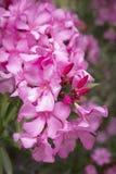 Nahaufnahme des Oleanders (Neriumoleander) Lizenzfreie Stockfotografie