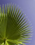 Nahaufnahme des Palmblattes Stockfotografie