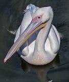 Nahaufnahme des Pelikans Stockfotos