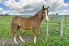 Nahaufnahme des Pferds in der Wiese Stockbilder