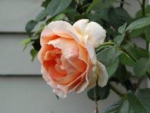 Nahaufnahme des Pfirsiches Rose mit Tautropfen Lizenzfreie Stockfotografie