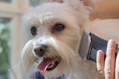 Nahaufnahme des Pflegens eines maltesischer Hundekopfes Lizenzfreie Stockbilder
