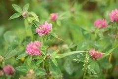 Nahaufnahme des purpurroten Klees in der Wiese Wilde Sommerblumen stockbild