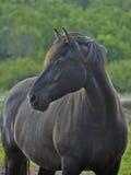 Porträt des reinrassigen kanadischen Pferds Stockfotos