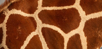 Nahaufnahme des retikulierten Giraffenmusters Lizenzfreie Stockfotografie