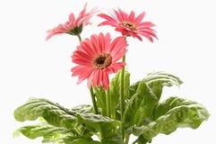 Nahaufnahme des rosafarbenen Gänseblümchens mit Wassertröpfchen Lizenzfreie Stockfotos