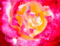 Nahaufnahme des Rosas stieg Stockbild