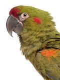 Nahaufnahme des Rot-konfrontierten Macaw, Ara rubrogenys Stockfoto