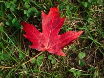 Nahaufnahme des Rotahornblattes auf dem Gras Stockfotografie