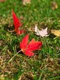 Nahaufnahme des Rotahornblattes auf dem Gras Lizenzfreies Stockfoto