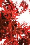 Nahaufnahme des roten Ahornholzes Stockfotografie