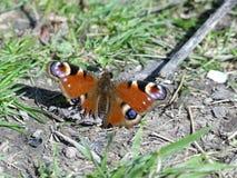 Nahaufnahme des schädigenden Pfau-Schmetterlinges, der auf dem Boden sitzt stockbild