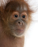 Nahaufnahme des Schätzchen Sumatran Orang-Utans Lizenzfreie Stockfotos