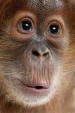 Nahaufnahme des Schätzchen Sumatran Orang-Utans Stockfotos