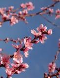 Nahaufnahme des schönen blühenden Pfirsiches Stockbilder