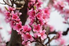 Nahaufnahme des schönen blühenden Pfirsiches Lizenzfreies Stockbild