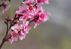 Nahaufnahme des schönen blühenden Pfirsiches Stockfoto