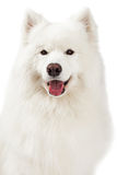 Nahaufnahme des schönen Samoyed-Hundes Stockbild