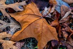Nahaufnahme des schönen verwickelten Herbstlaubs Stockbild