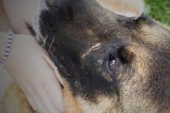 Nahaufnahme des Schauens eines alten Schäferhundhundes lizenzfreie stockfotografie