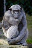 Nahaufnahme des Schimpansen (Wanne Troglodytes) Lizenzfreie Stockfotografie