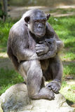 Nahaufnahme des Schimpansen (Wanne Troglodytes) Lizenzfreie Stockfotos