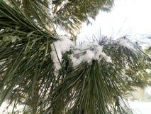 Nahaufnahme des schneebedeckten Baums unter dem Sonnenschein, Kiefer, Tanne, Anlage mit Schneeflocken über ihm, Winter stockfoto